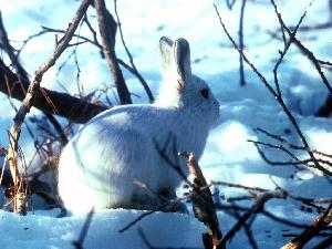 Охота на зайца-беляка