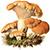 Ежовик желтый (Hydnum repandum)