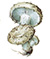 Подгруздок белый (Russula delica)