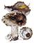 Подгруздок черный, или чернушка (Russula adusta)