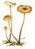 Чесночник обыкновенный (лат. Marasmius scorodonius)