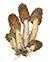 Сморчковая шапочка (Verpa bohemica)