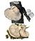 Вешенка дубовая (Pleurotus dryinus)