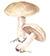 Рядовка фиалковая (Lepista irina)