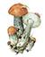 Подосиновик желто-бурый (Leccinum versipelle)