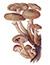 Опёнок осенний (Armillaria mellea)