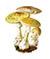 Бледная поганка (Amanita phalloides)