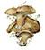 Козляк, или сухой масленок (Suillus bovinus)