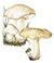 Рядовка майская, майский гриб (Calocybe gambosa)