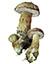 Жёлчный гриб (Tylopilus felleus)