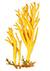 Рогатик, или Калоцера клейкая (Calocera viscosa)