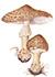 Лепиота чешуйчатая (Lepiota brunneoincarnata)