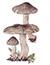Рядовка землистая, или мышата (Tricholoma terreum)