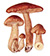Рядовка бурая (Tricholoma fulvum)