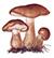 Рядовка коричневая (Tricholoma albobrunneum)