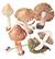Волоконница патуйяра (Inocybe patouillardii)