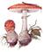 Мухомор красный (Amanita muscaria)