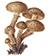 Чешуйчатка обыкновенная (Pholiota squarrosa)