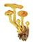 Чешуйчатка золотистая, или королевские опята (лат. Pholiota aurivella)