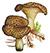 Ежовик пёстрый, или колчак (лат. Sarcodon imbricatus)
