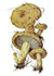 Груздь синеющий или собачий груздь (лат. Lactárius repraesentáneus)