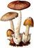Поплавок жёлто-коричневый (лат. Amanita fulva)