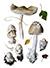 Поплавок серый (лат. Amanita vaginata)