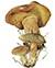 Моховик коричневый (Boletus ferrugineus)