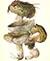 Сыроежка зелёная (лат. Rússula aerugínea)