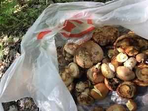 Голицынские грибы