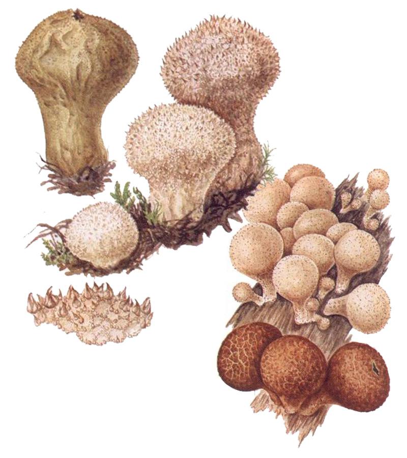 Дождевик шиповатый (лат. Lycoperdon perlatum)