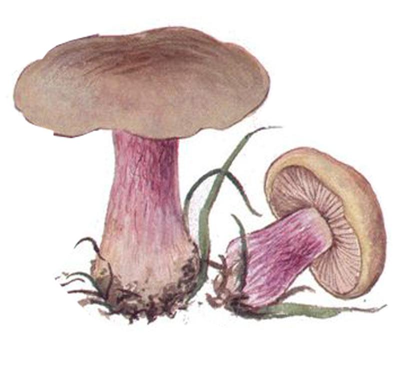 Рядовка лиловоногая, или Синеножка (лат. Lepista saeva)
