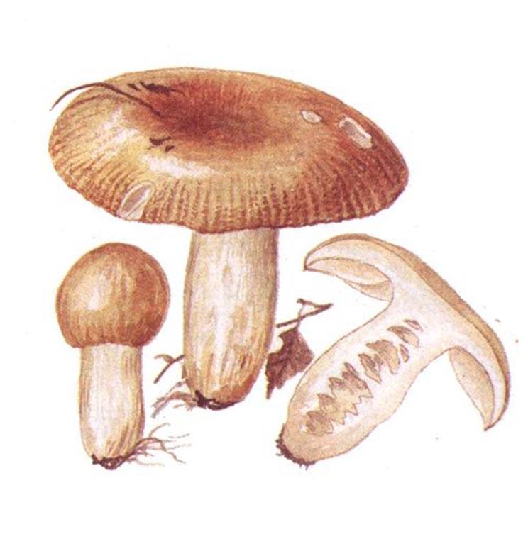 Валуй (Russula foetens)