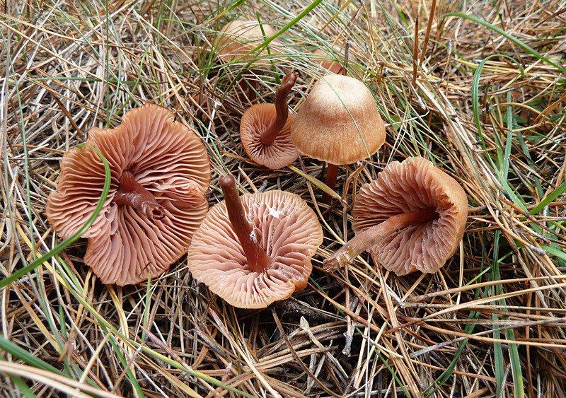 Лаковица большая (Laccaria proxima)