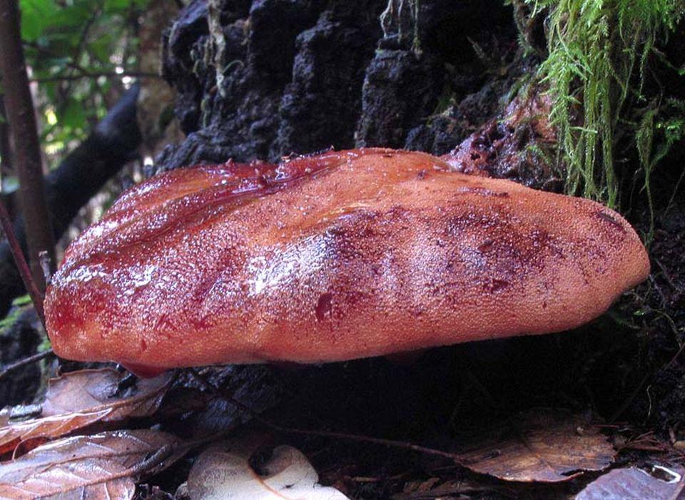 Печёночный гриб (Fistulina hepatica)