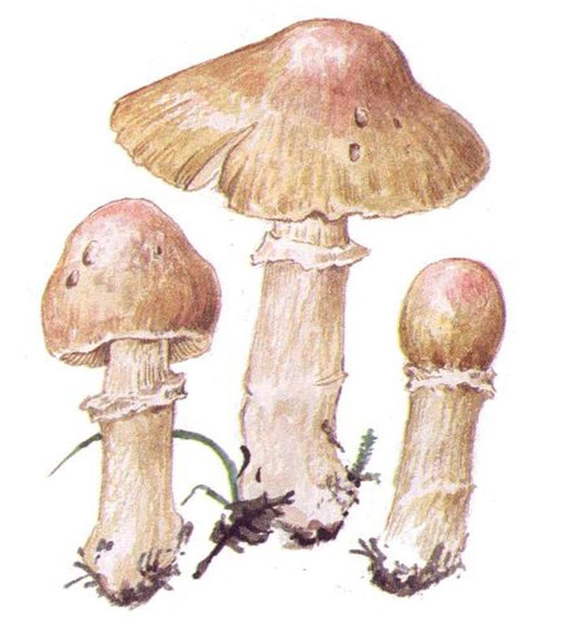 Колпак кольчатый, или курочка (лат. Cortinarius caperatus)