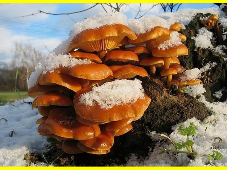 Опенок зимний (Flammulina velutipes)