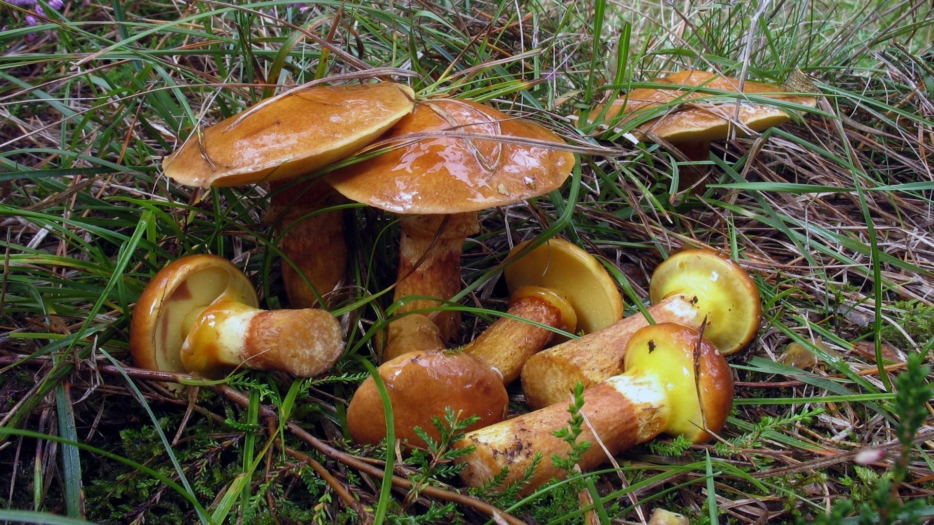 Маслёнок лиственничный (Suillus grevillei)