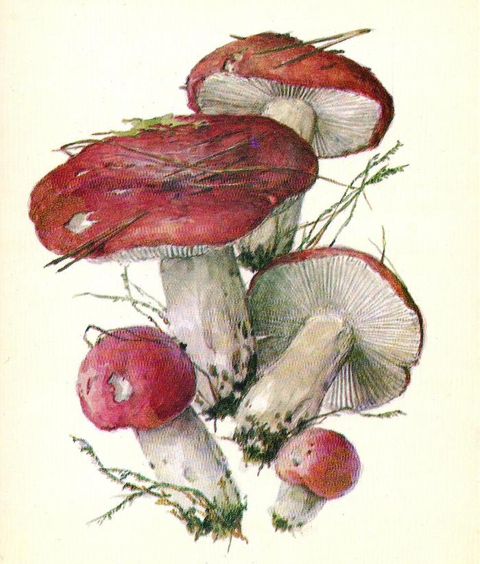 Сыроежка зелёно-красная (Russula alutacea)
