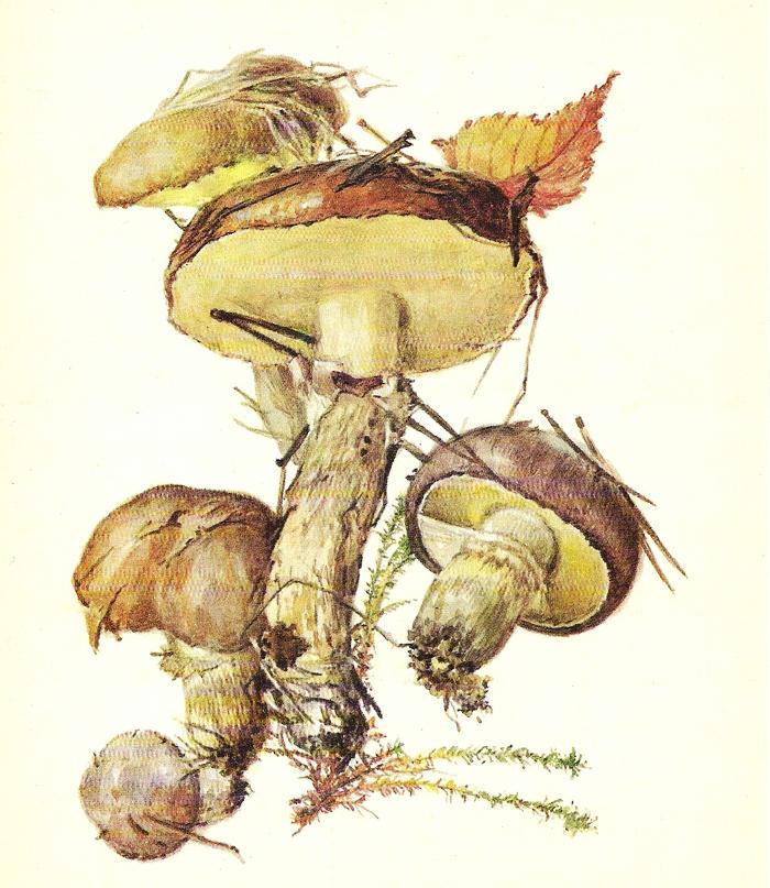 Маслёнок обыкновенный(Suillus luteus)