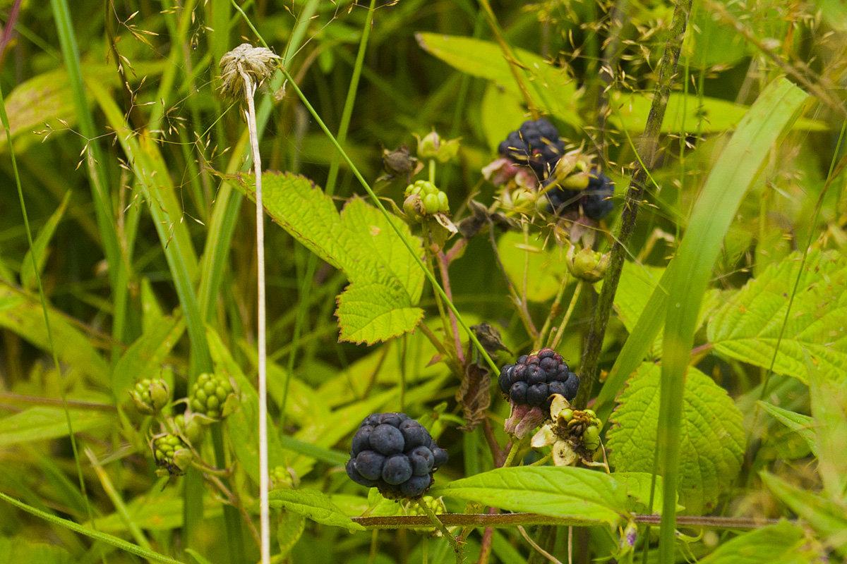 Ежевика сизая (лат. Rubus caesius)