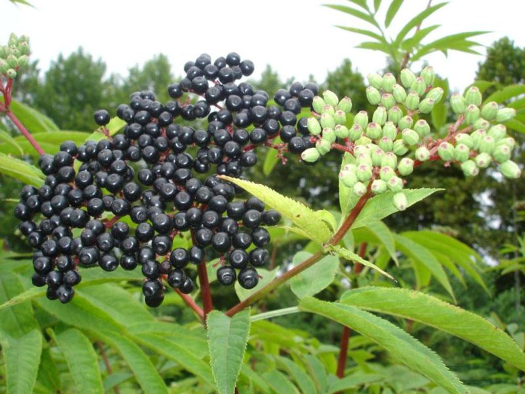 Бузина черная (лат. Sambúcus nígra)