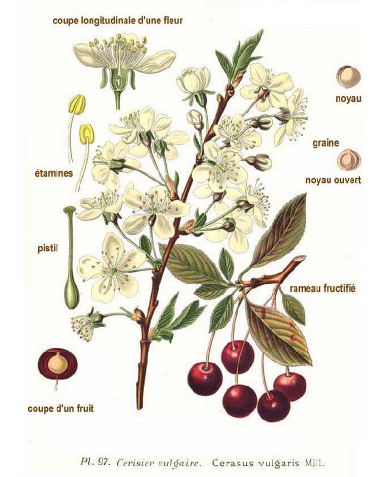 Вишня степная (лат. Prúnus fruticósa)