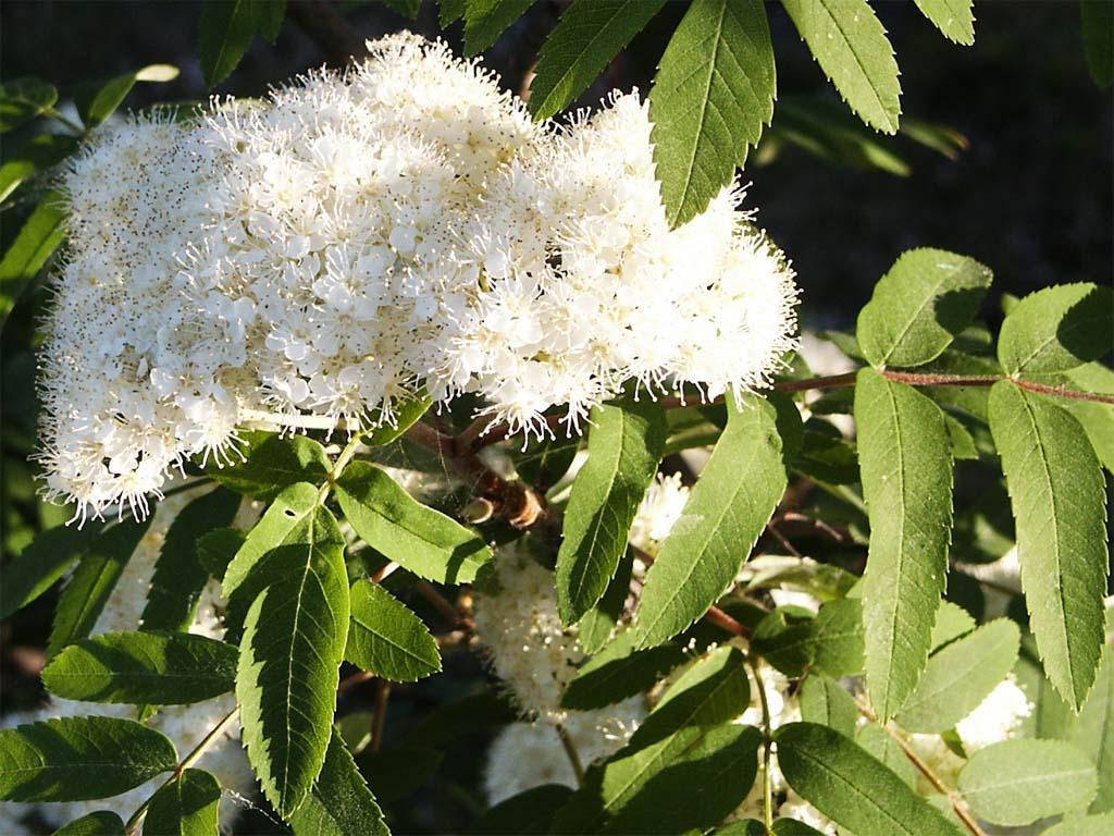 Черноплодная рябина (лат. Arónia melanocárpa)