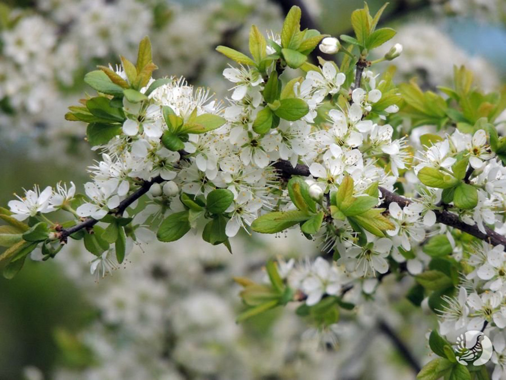 Тёрн или терновник (лат. Prúnus spinósa)