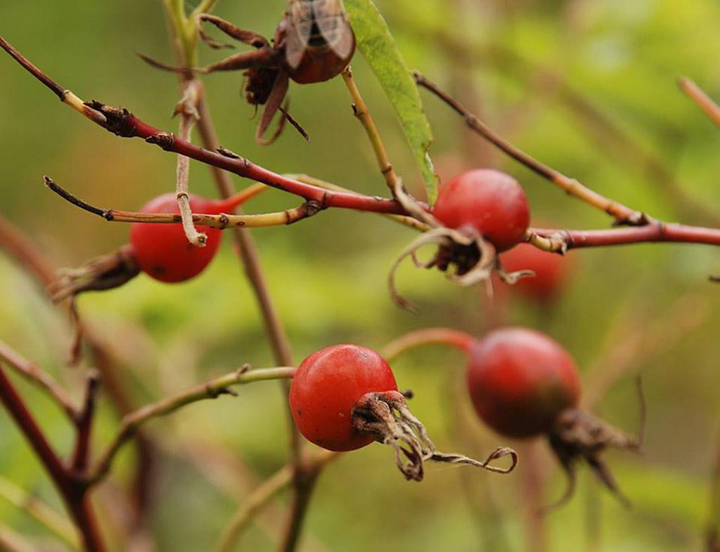 Шиповник майский (лат. Rósa majális)