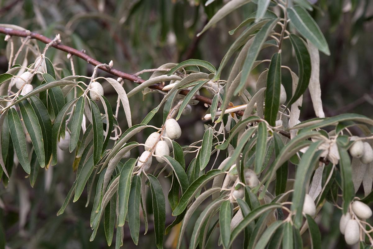 Лох узколистный (лат. Elaeagnus commutata)