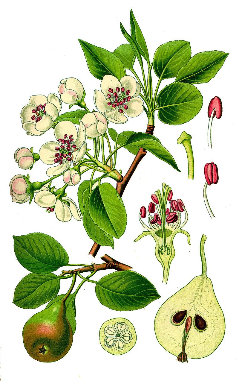 Груша лесная (лат. Pýrus commúnis)
