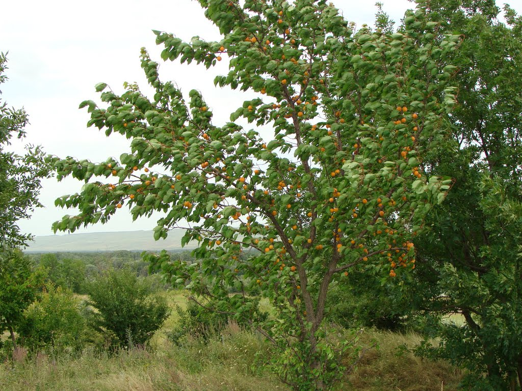 Абрикос дикорастущий или жердела