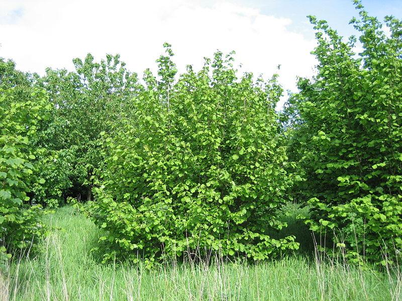 Лесной орех или лещина обыкновенная (лат. Córylus avellána)